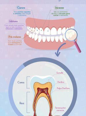 Classificação dos dentes e a função deles na arcada dentária